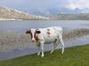 Vache et lac Ninu Corse