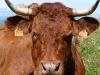 Vache au Puy Violent Auvergne