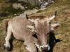 Vache pyrénéenne