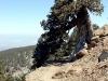 Mont Olympe  (genévrier) Chypre