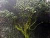 Garroe, arbre magique Canarias El Hierro