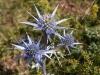 Chardon bleu Pyrénées