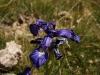 Iris Pyrénées